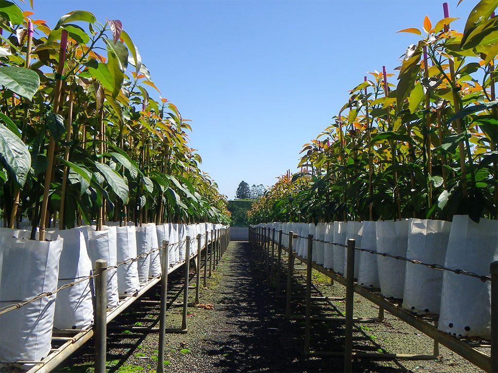 Australian avocado industry considers NT to be fruitful ground for Maluma variety